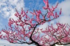 在箱根,日本变粉红色佐仓樱花花 库存图片