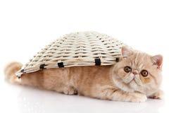 在篮子下的波斯异乎寻常的小猫隔绝了猫明信片 库存图片