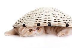 在篮子下的波斯异乎寻常的小猫隔绝了猫明信片 免版税库存照片
