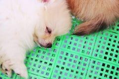 在篮子关闭的逗人喜爱的白色Pomeranian狗睡眠 免版税图库摄影