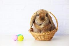 在篮子和复活节彩蛋的复活节兔子 Lop兔子 库存图片