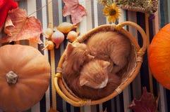 在篮子和秋天南瓜和其他果子和vegeta的小猫 库存照片