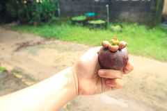 在篮子泰国的新鲜的山竹果树 库存图片