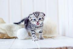 在篮子猫叫声的小猫,哭泣为母亲 免版税库存图片