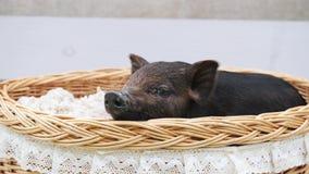 在篮子的一句逗人喜爱的猪谎言 股票视频