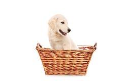 在篮子的一点拉布拉多猎犬狗 库存照片