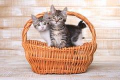 在篮子的两只可采纳的小猫 库存照片