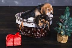 在篮子的两只小猎犬小狗 库存图片