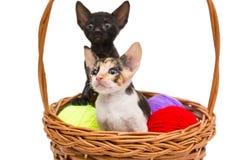 在篮子的两只小的小猫 库存图片