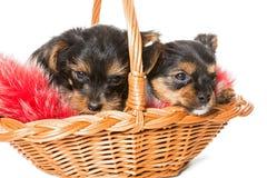在篮子的两逗人喜爱的约克夏狗小狗 免版税库存图片