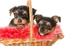 在篮子的两逗人喜爱的约克夏狗小狗 库存图片
