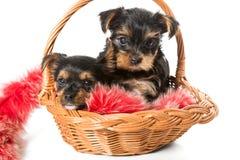 在篮子的两逗人喜爱的约克夏狗小狗 免版税库存照片