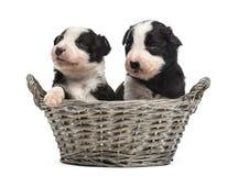 在篮子的两21只天的杂种小狗 库存照片