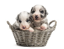 在篮子的两21只天的杂种小狗 免版税库存照片