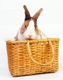 在篮子的兔宝宝 免版税图库摄影