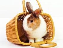 在篮子的兔宝宝 免版税库存图片