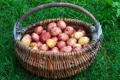 在篮子的原始的没被剥皮的土豆 免版税库存照片