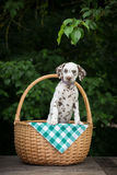 在篮子的可爱的棕色达尔马希亚小狗 免版税图库摄影