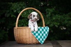 在篮子的可爱的棕色达尔马希亚小狗 库存照片