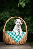在篮子的可爱的棕色达尔马希亚小狗 免版税库存图片
