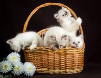 在篮子的四只内娃化妆舞会小猫 库存照片