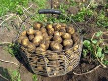 在篮子的土豆 免版税图库摄影