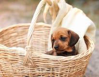在篮子的小狗 库存图片