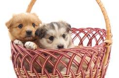 在篮子的小狗 库存照片