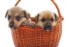 在篮子的小狗 免版税图库摄影
