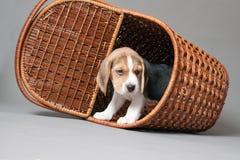 在篮子的小猎犬小狗 库存图片
