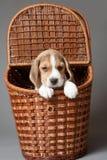 在篮子的小猎犬小狗 免版税库存照片