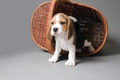 在篮子的小猎犬小狗 免版税库存图片
