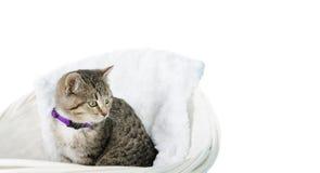 在篮子的小猫 免版税库存图片