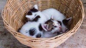 在篮子的小猫 免版税图库摄影