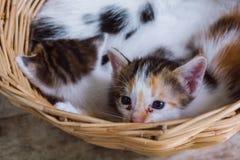 在篮子的小猫 库存照片