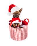 在篮子的小的圣诞老人奇瓦瓦狗狗 免版税库存图片