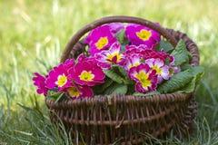在篮子的开花的桃红色报春花 免版税库存图片