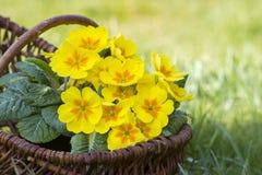 在篮子的开花的黄色报春花 免版税库存照片