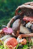 在篮子的收获棕色盖帽牛肝菌蕈类 免版税库存图片