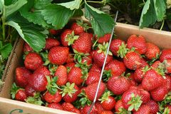 在篮子的新鲜的摘的草莓 免版税图库摄影