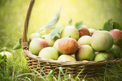 在篮子的新鲜的苹果在绿草和自然本底,关闭 免版税图库摄影