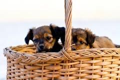在篮子的本地狗 免版税库存图片