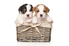 在篮子的杰克罗素小狗 库存图片