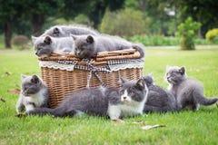 在篮子的灰色小猫 免版税库存照片