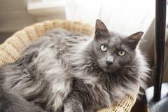 在篮子的灰色猫 免版税图库摄影