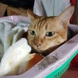 在篮子的猫 图库摄影