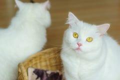 在篮子的白色波斯蓬松猫 图库摄影