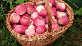在篮子的红色苹果在庭院里 影视素材
