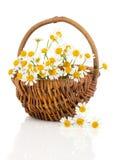 在篮子的美丽的春黄菊花 免版税库存图片