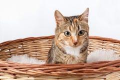 在篮子的美丽的杂色猫 库存图片